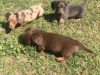 We have a gorgeous litter of Miniature Dachshund
