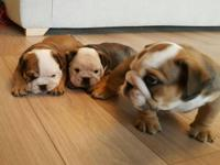 I have stunningly gorgeous English bulldog puppies. We