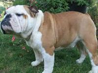 Gorgeous English Bulldog puppies available We had a