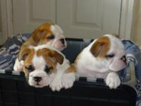 Animal Type: Dogs We have English Bulldog . There are 2