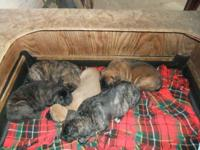 Gorgeous English mastiff puppies! Apricot fawn male,