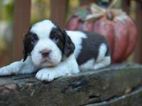 We have a beautiful litter of English Springer Spaniel