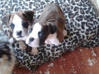 I have 2 beautiful brindle male boxer puppies. They are
