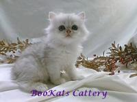 Loving exotic shorthaired male. Severe flat persian
