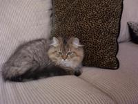 GORGEOUS EXTRA SWEET CFA PERSIAN KITTEN FOR SALE. WE