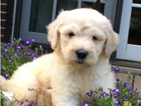 Two female F1B Goldendoodles puppies ready for their