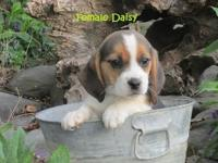 Gorgeous Family Raised Beagle Babies are ready for