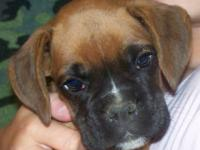 I currently have 1 Male Boxer puppy. He is up to date