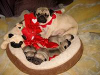 GORGEOUS AKC REGISTERED PEDIGREE CHRISTMAS PUGS
