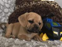 """Faline"" is a gorgeous pocket Puggle! Family raised,"