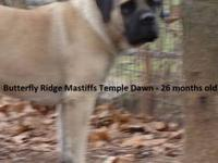 I have a few fawn male puppies that are available. The