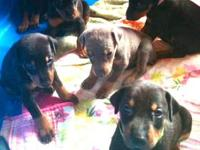 AKC Gorgeous Amer/Euro Doberman puppy, raised with kids