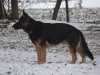 Lovely German Shepherd females with pedigrees full of
