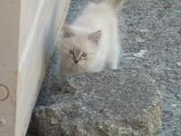 Anna is a gorgeous female lynxpoint Siamese kitten. 8