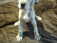 We have one gorgeous Female Merle Great Dane Puppy.
