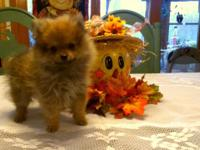 Female Pomeranian Puppy ready for her new family and