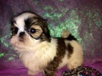 Shih-Tzu Imperial beautiful female puppy for sale. She
