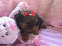 Super sweet and snuggly Yorkie baby Loves to play and