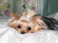 Girl Yorkie parent 2 years of ages for sale. Champ