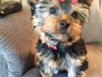 This yorkie girl is a precious little pick of the