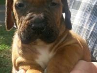 We have a litter of gorgeous Fila Brasileiro puppies