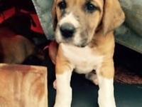 we have seven gorgeous St. Dane puppies, five females