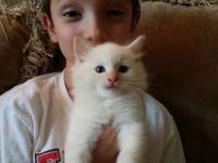 I have one flame point mink kitten for sale. Ready for
