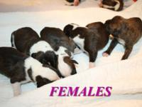 We have a brand-new litter of AKC signed up Boxer