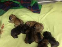 2 beautiful litters of pups. Born 6-5 & 6-8. 4 Males &
