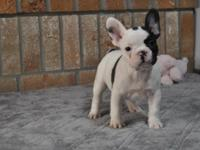 Our beautiful French Bulldog puppies are now ten weeks