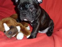 Tyson is a gorgeous Black Brindle French Bulldog Puppy