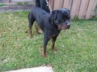 Gorgeous German Rottweiler, answers to Rocky, 3 years
