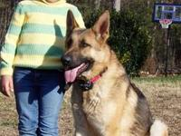 Gorgeous German Shepherd Dog adult male available to a