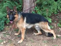 Gorgeous Nieko 17 months AKC German Shepherd male