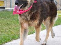 Laika is a gorgeous female german shepherd mix that was