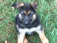 I have a beautiful German Shepherd pup ready for his