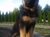 Awesome German Shepherd puppies born on August 23rd