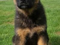 Gorgeous German Shepherd puppy female born on August