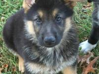 I have 4 beautiful German Shepherd pups ready for their