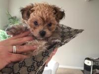 Tiny micro mini morkie puppy born 8-30-15 teddy bear