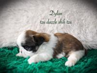 Dylan is a gorgeous golden red and white male shih tzu.