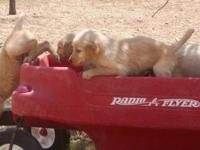 Beautiful Golden Retriever Puppies, purebred and