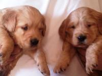 Beautiful Golden Retriever Puppies. Purebred with