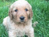 We have 3 precious goldendoodle babies. We have two red