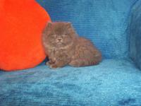EXTREMELY GORGEOUS CFA PERSIAN KITTEN FOR SALE. WE