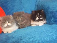 INCREDIBLY GORGEOUS CFA PERSIAN KITTENS FOR SALE. WE