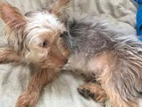 Gorgeous male Yorkie for sale. He is 6 months and has