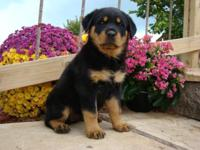 WE HAVE A GORGEOUS GROUP OF GERMAN ROTTWEILER PUPPIES.