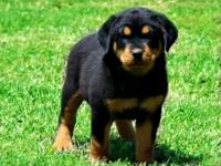 WE HAVE A GORGEOUS GROUP GERMAN ROTTWEILER PUPPIES. WE
