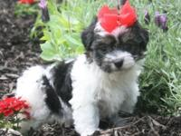 Beautiful havanese puppies for sale in Louisiana.